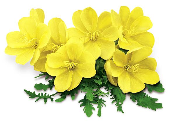 A Primula Olaj öt előnye